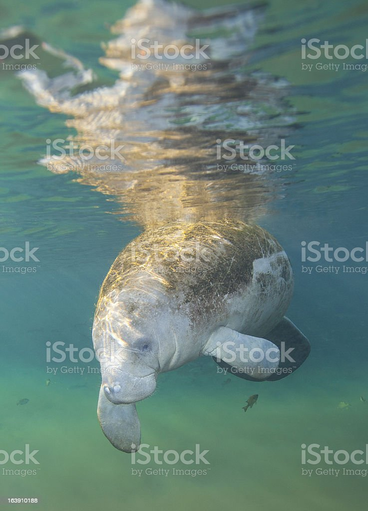 Manatee Greeting - Fanning Springs royalty-free stock photo