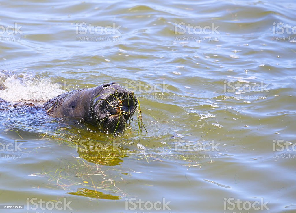 Manatee's Big Mouth stock photo
