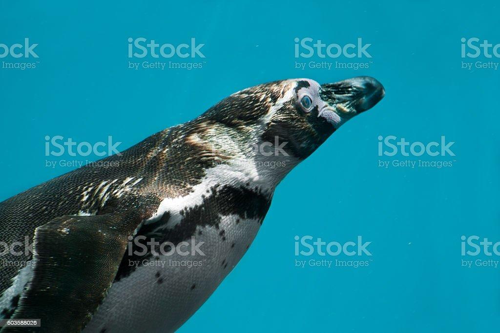 Manchot de Humboldt - Spheniscus humboldti stock photo