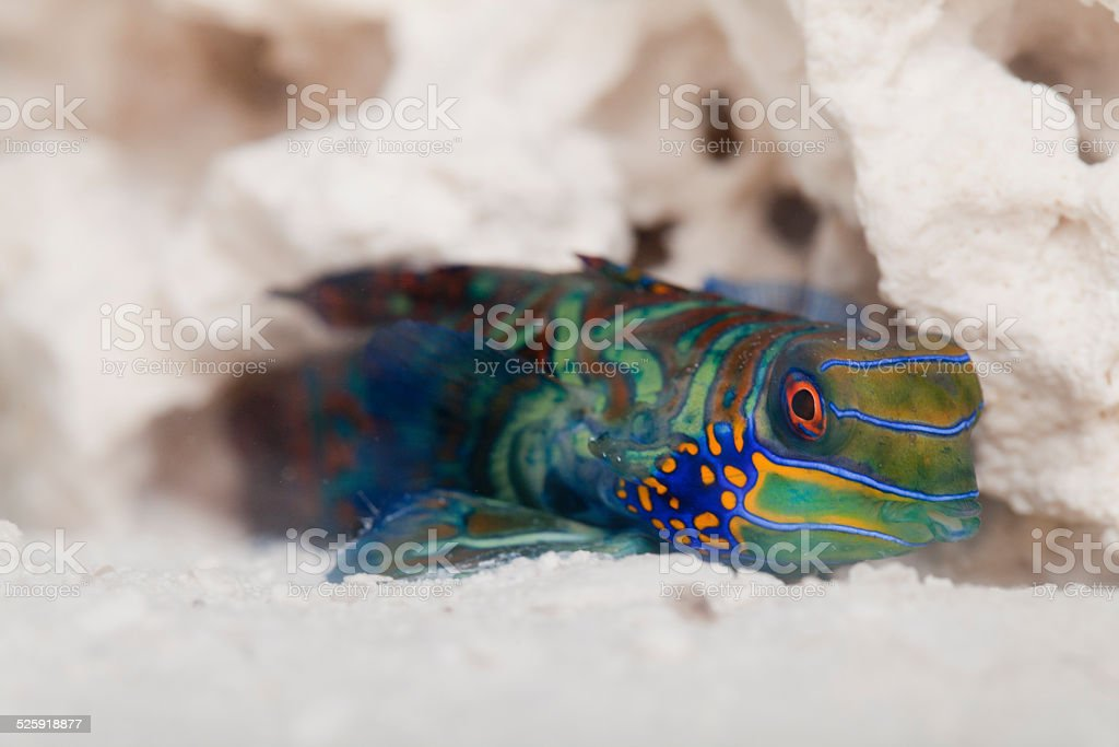 Mandarin dragonet (Synchiropus splendidus) stock photo