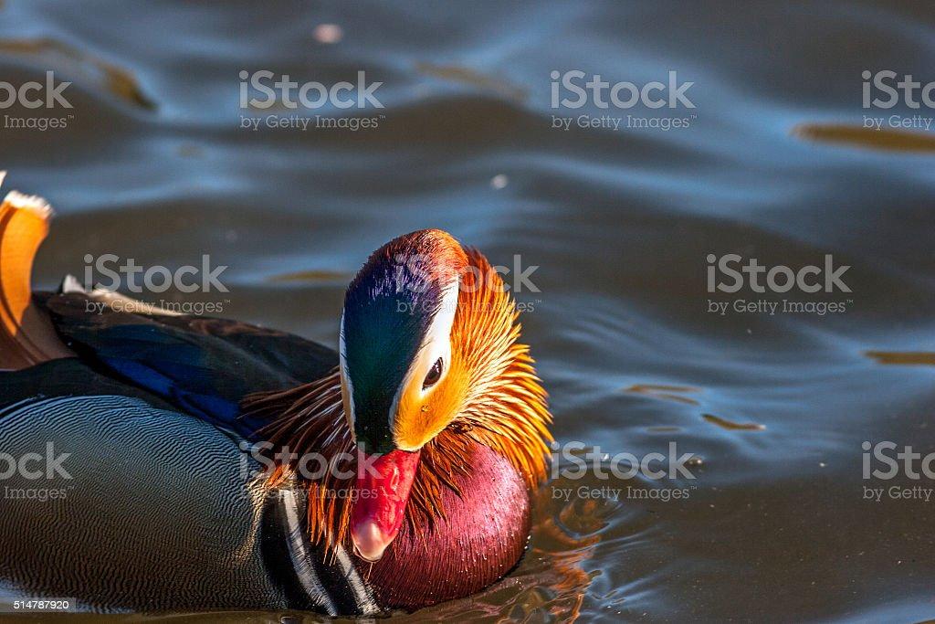 Mandarin Duck closeup on water stock photo