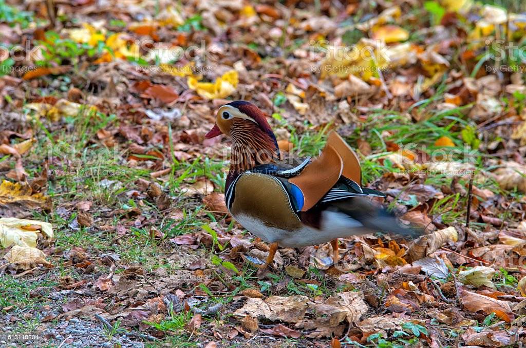 Mandarin duck royalty-free stock photo