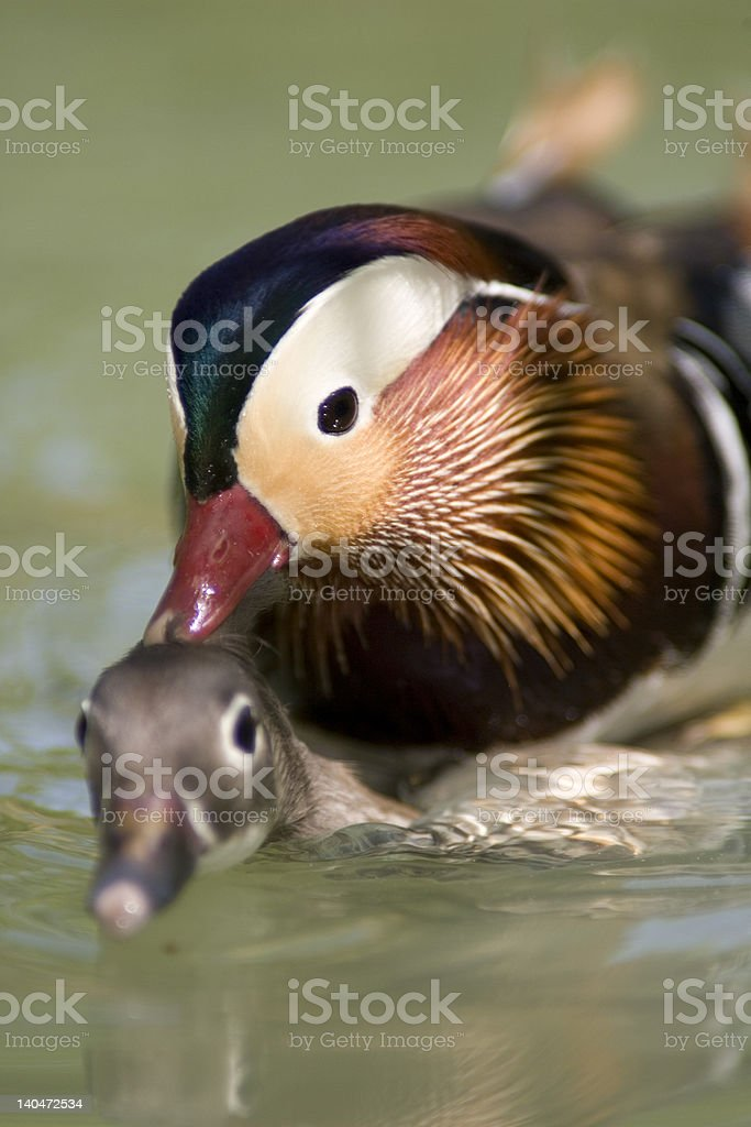 Mandarin patos O acasalamento foto royalty-free
