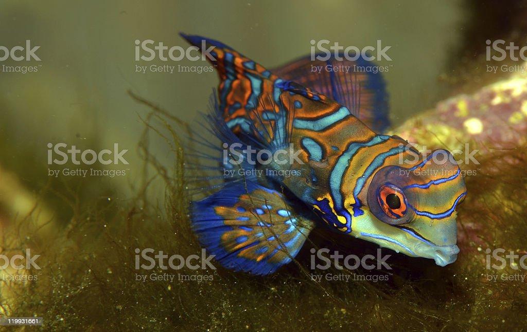 Mandarin fish (Synchiropus splendidus) royalty-free stock photo