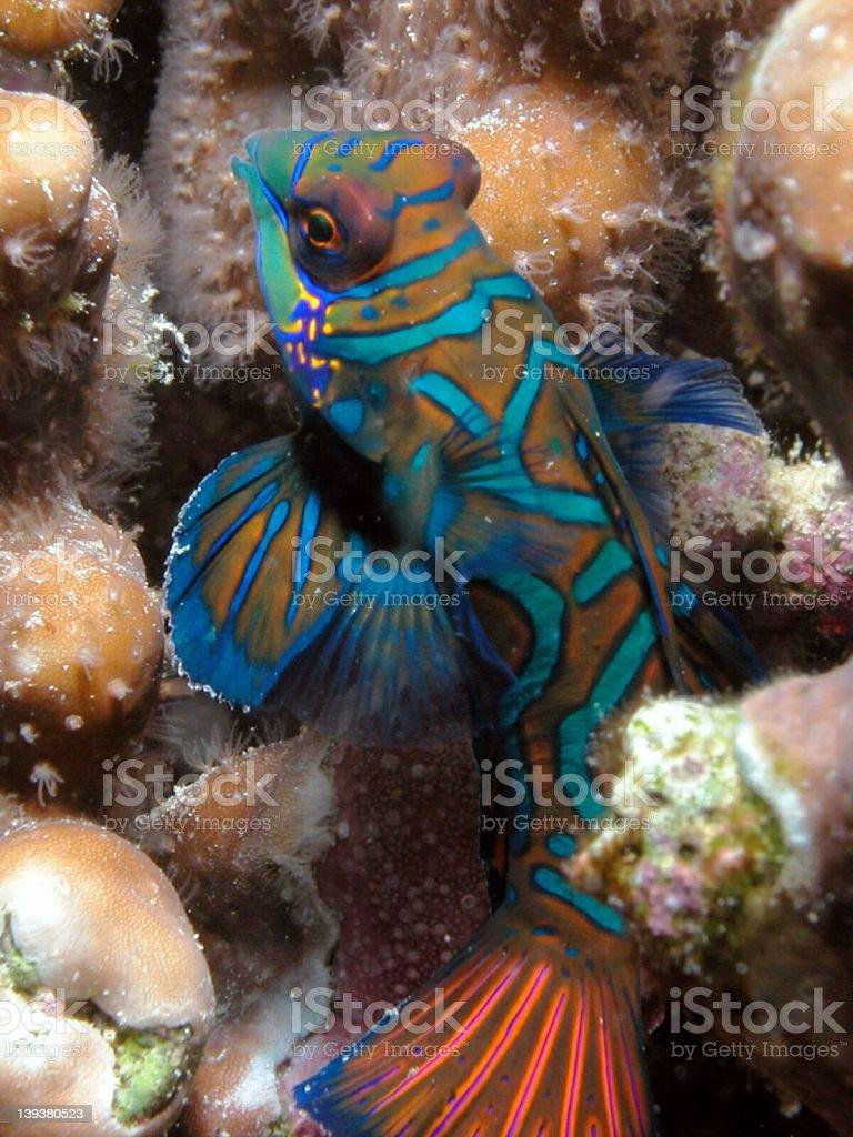 Mandarin fish royalty-free stock photo