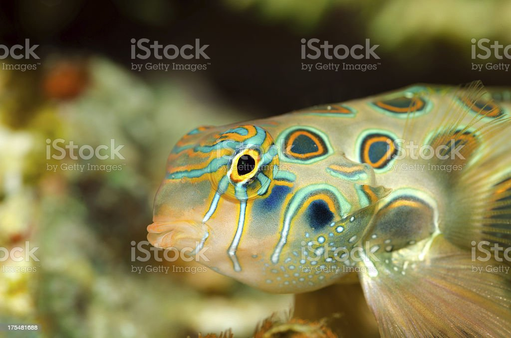 mandarin fish stock photo