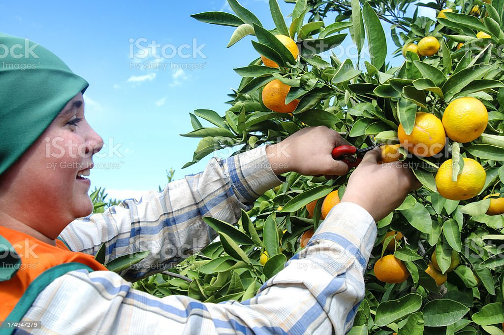 mandarin harvest stock photo