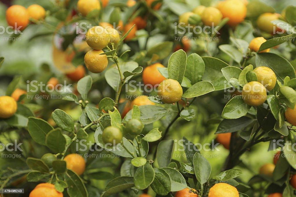 mandarin orange / Citrus reticulata stock photo