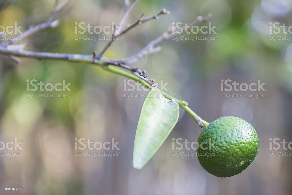 Arancio mandarino crescono sugli alberi foto stock royalty-free
