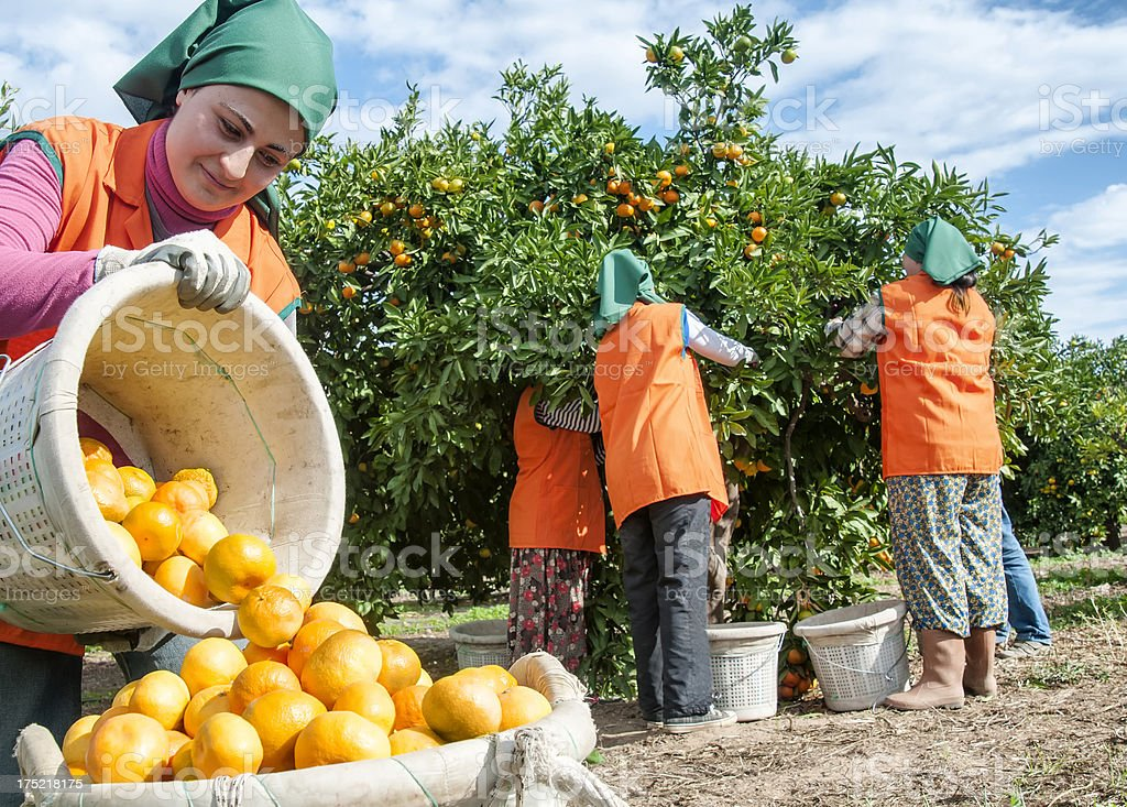 Mandarin Orange harvest stock photo