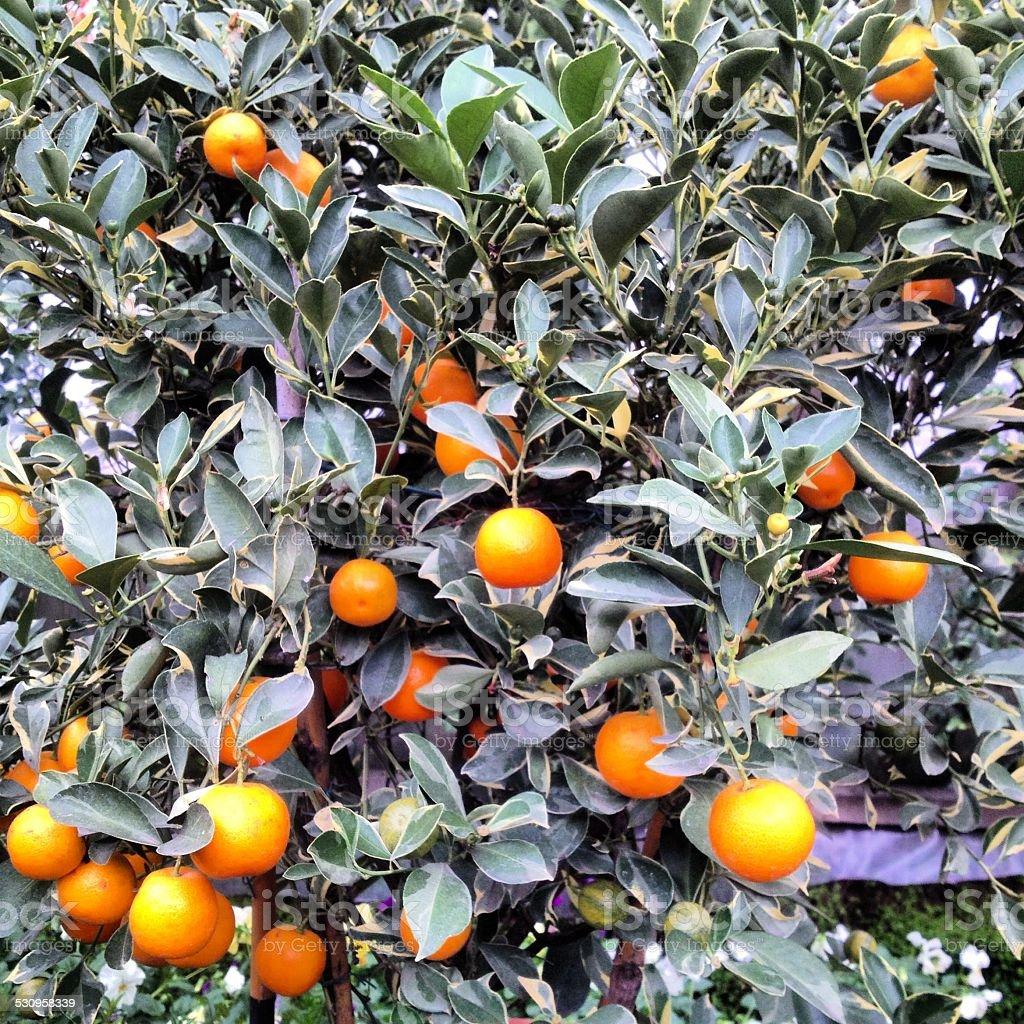 Mandarin árvore foto royalty-free