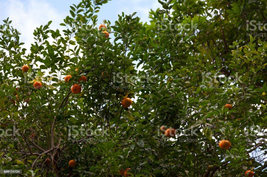 Mandarin-Baum – Foto