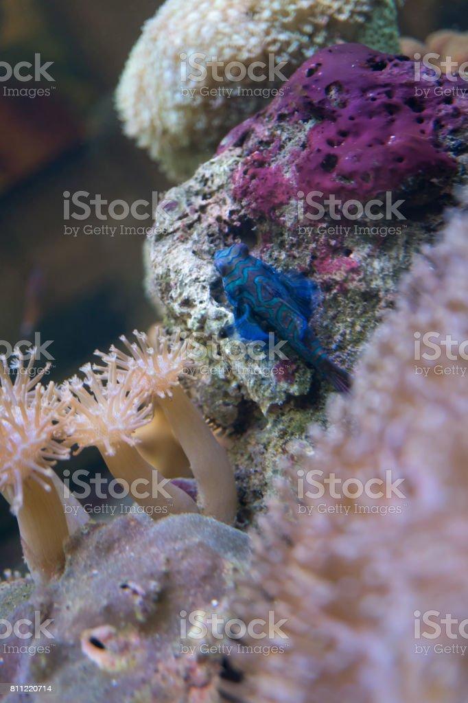 Mandarinfish in marine aquarium stock photo