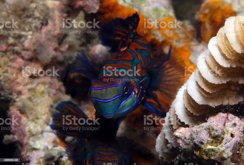 Mandarinfish stock photo
