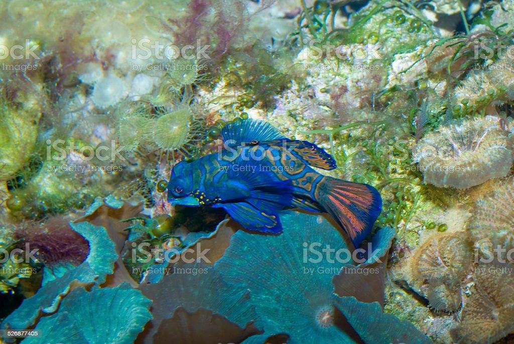 Mandarinfish  (Synchiropus splendidus) stock photo