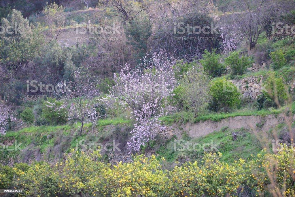 Mandelblüte in Spanien stock photo