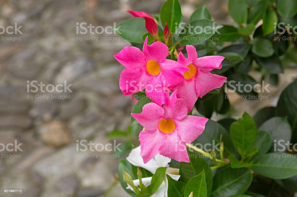 Mandevilla, Rocktrumpet flowers with pink petals and yellow center stock photo