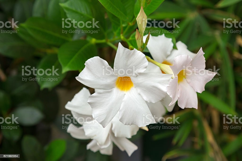 Mandevilla, Rocktrumpet flowers with white petals and yellow center stock photo