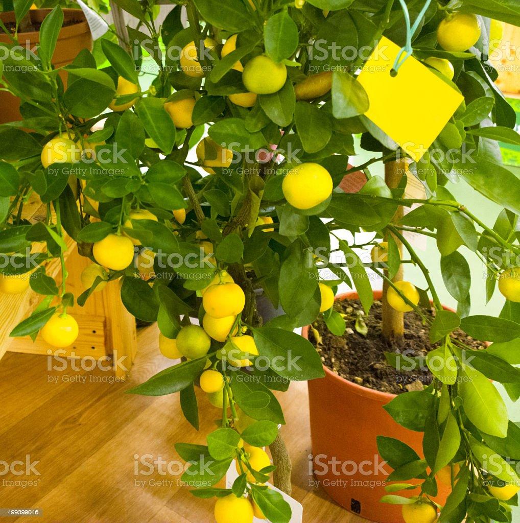 Mandorinovoe tree in the supermarket. stock photo