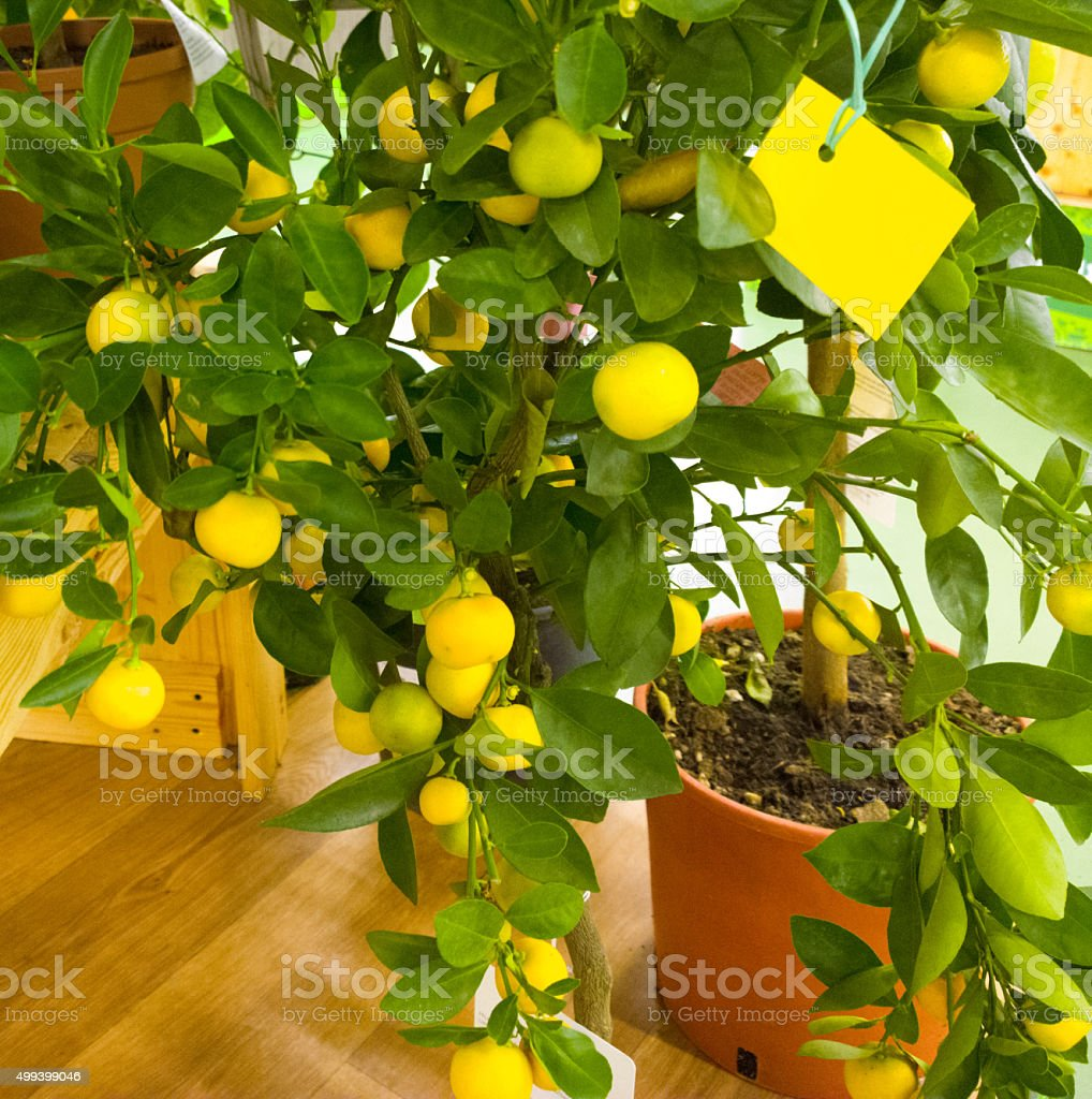 Mandorinovoe tree in the supermarket. stock photo