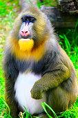 Mandril primate monkey resting, Congo, Africa Equatorial