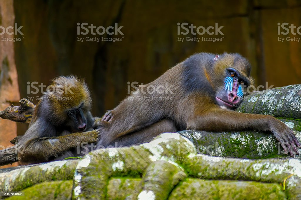 Mandril search for the louse stock photo