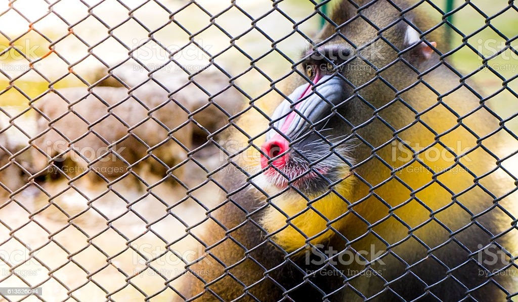 Mandrill Baboon monkey behind a cage copy space stock photo