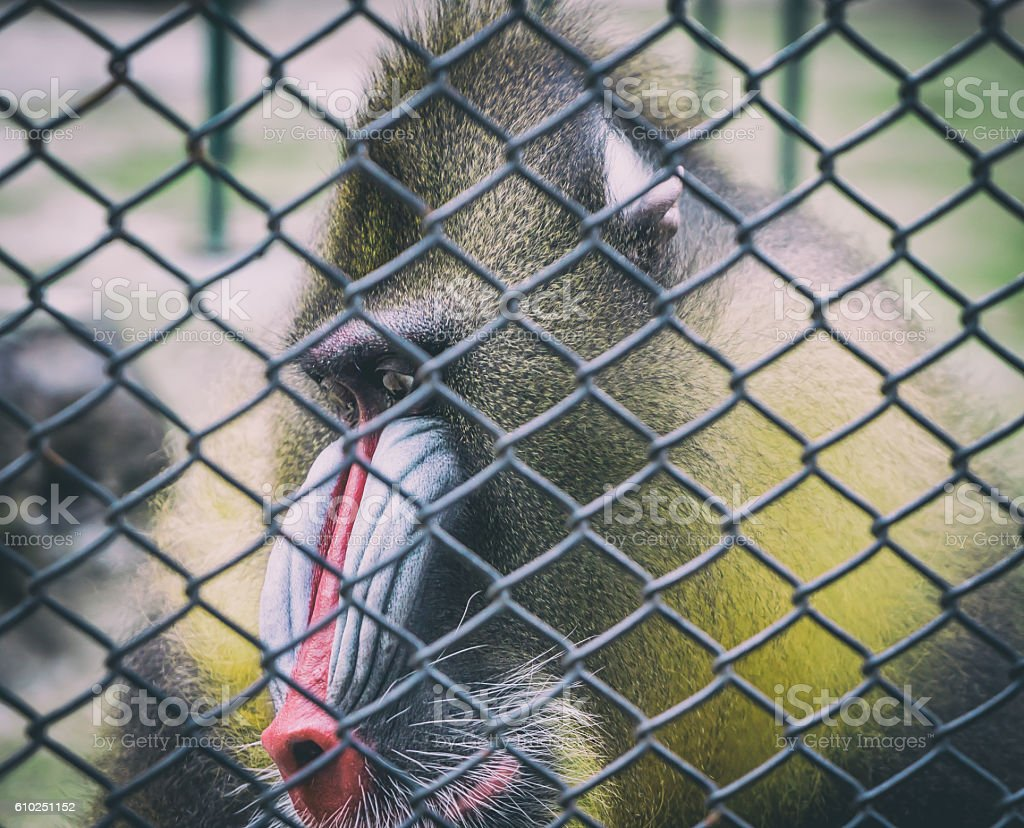 Mandrill Baboon monkey sad face behind a cage stock photo