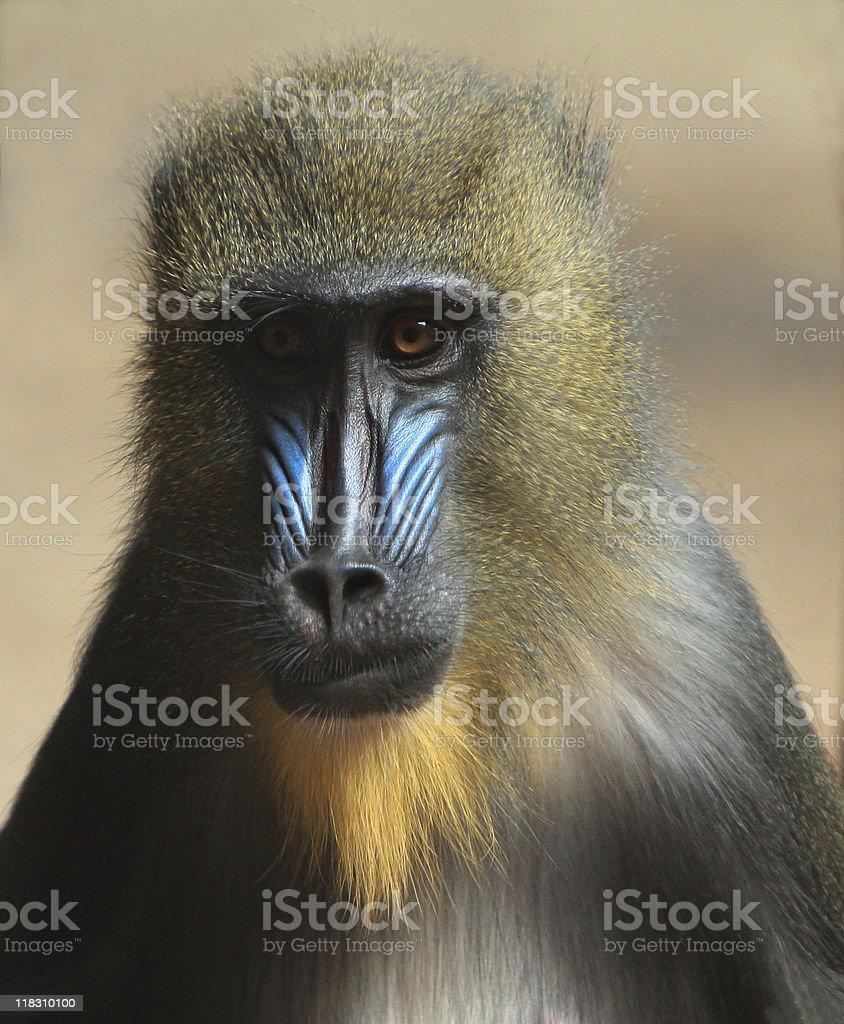 Mandrill Baboon stock photo