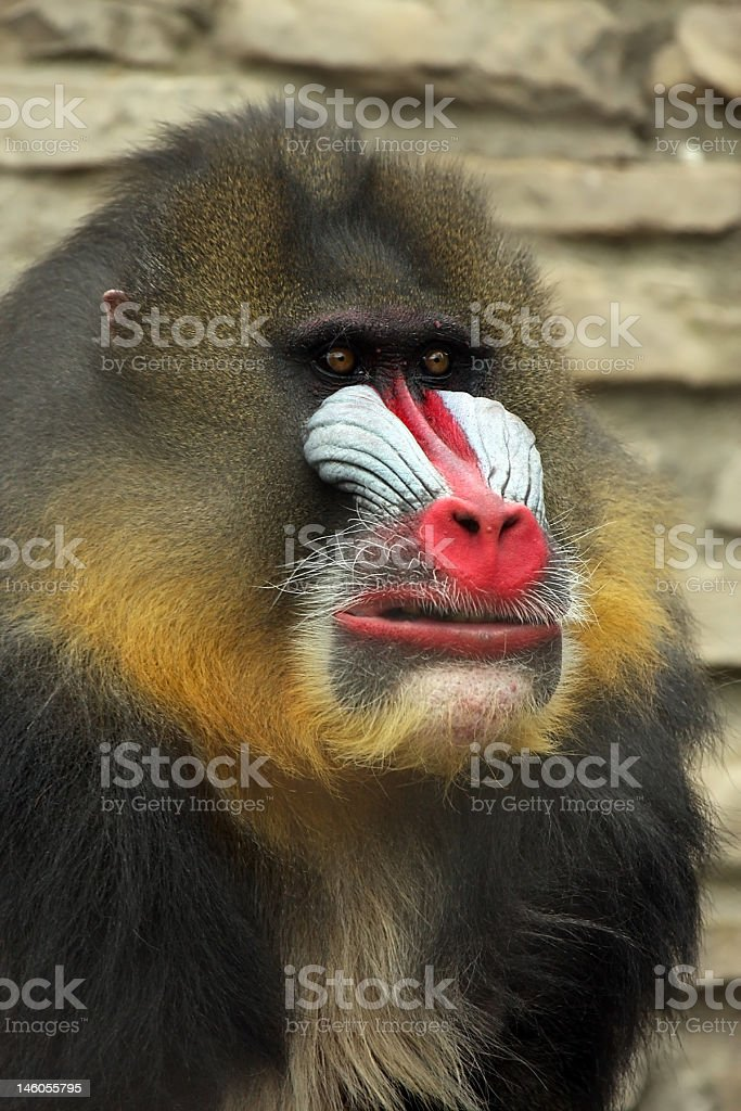 Mandrill royalty-free stock photo