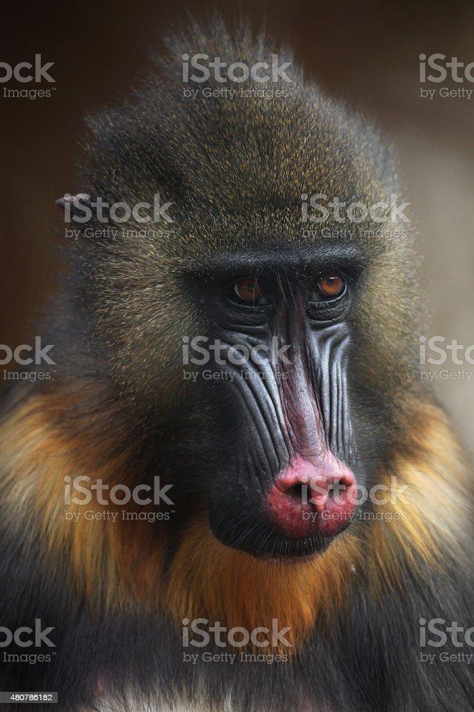 Mandrill (Mandrillus sphinx). stock photo