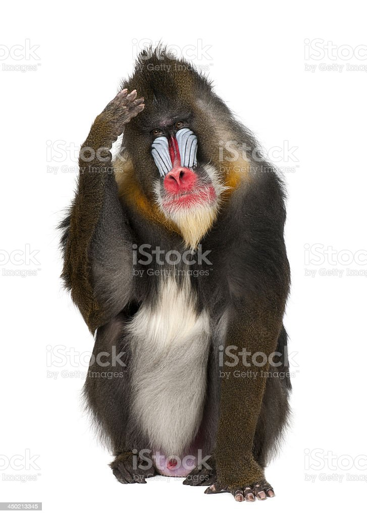 Mandrill scratching head, Mandrillus sphinx, 22 years old stock photo