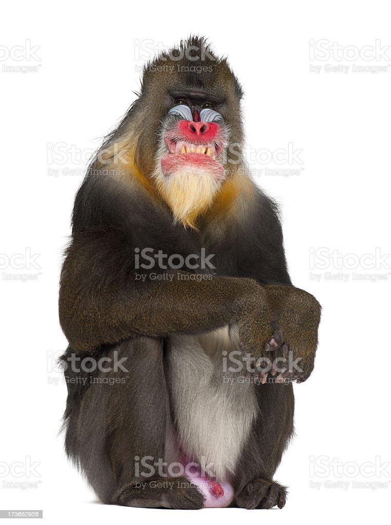Mandrill sitting and grimacing, Mandrillus sphinx, 22 years old stock photo