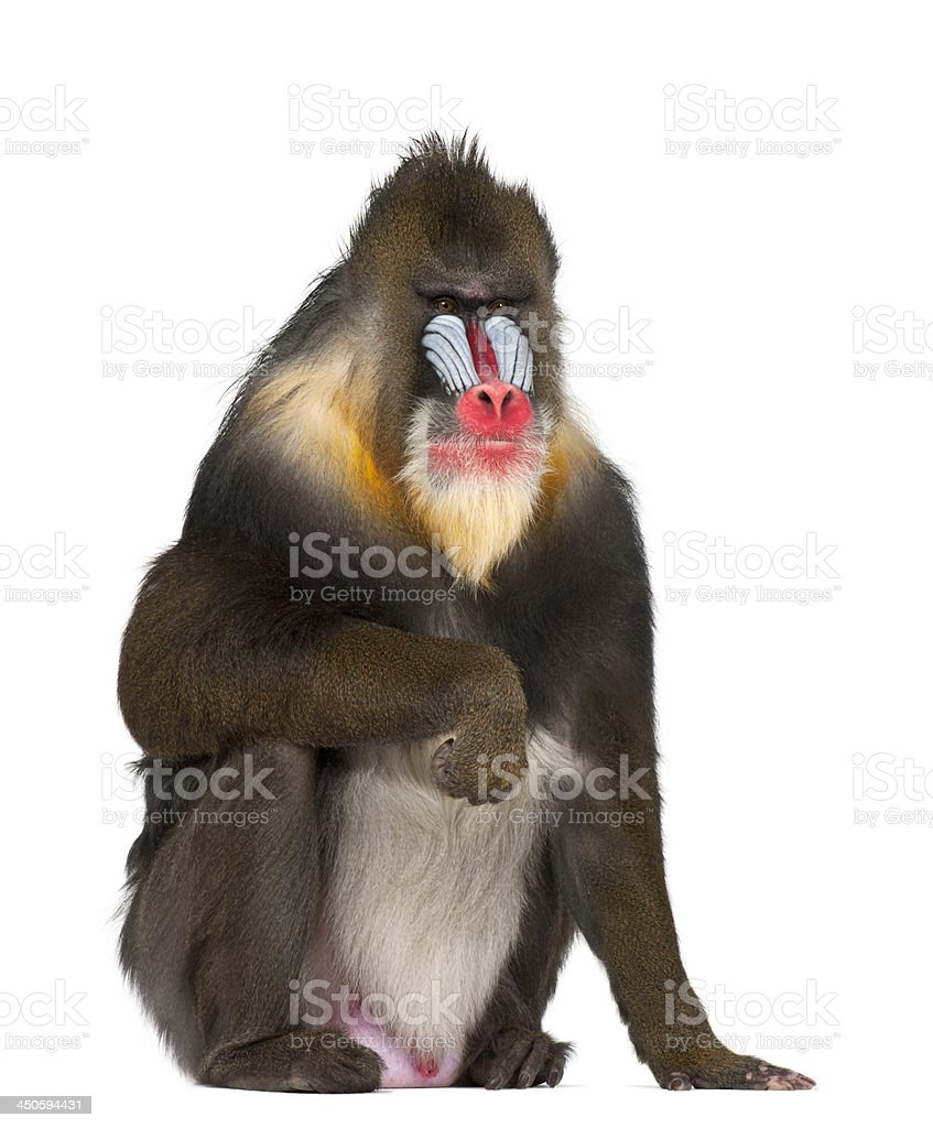 Mandrill sitting, Mandrillus sphinx, 22 years old stock photo