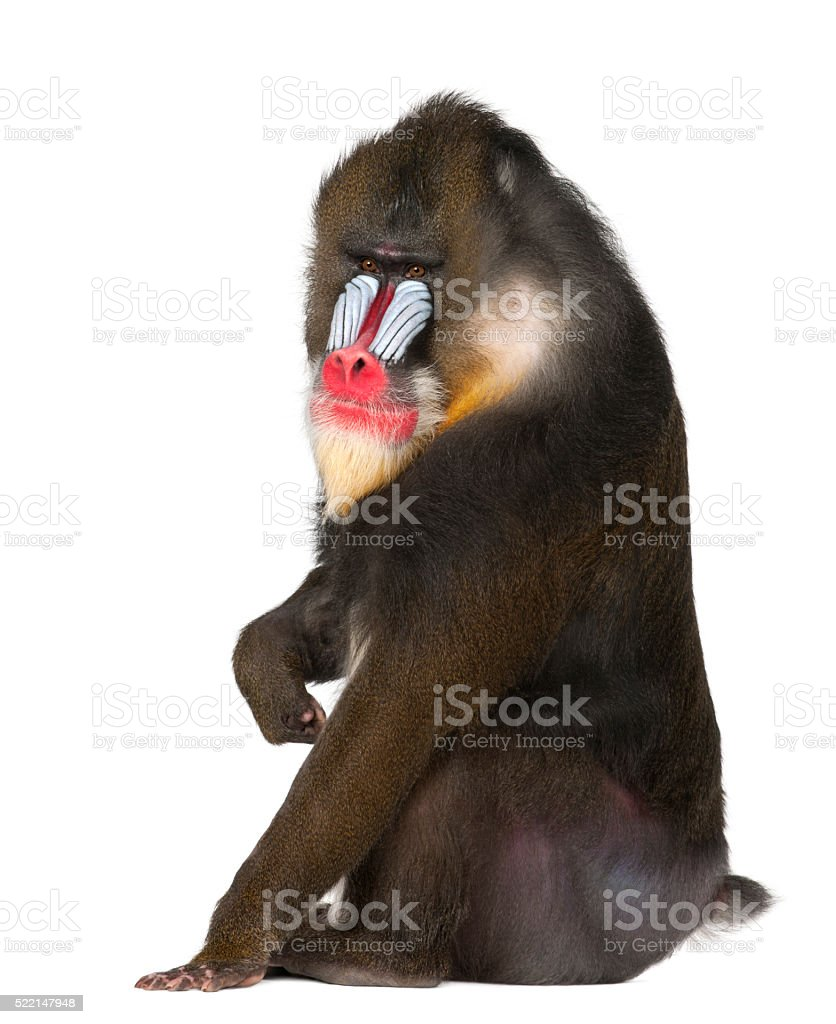 Mandrill sitting primate of the Old World monkey family stock photo