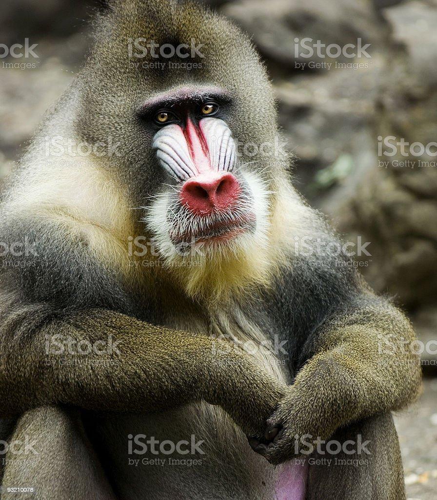 Mandrillus sphinx stock photo
