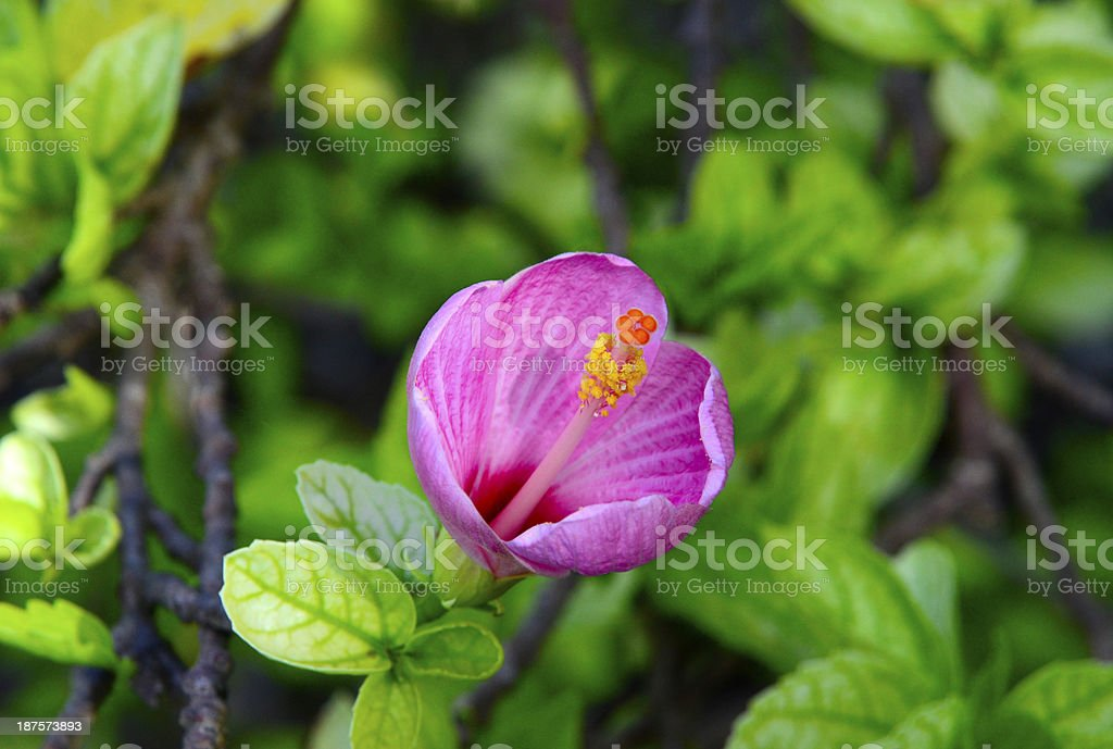 Mandrinette, Hibiscus Fragilis stock photo