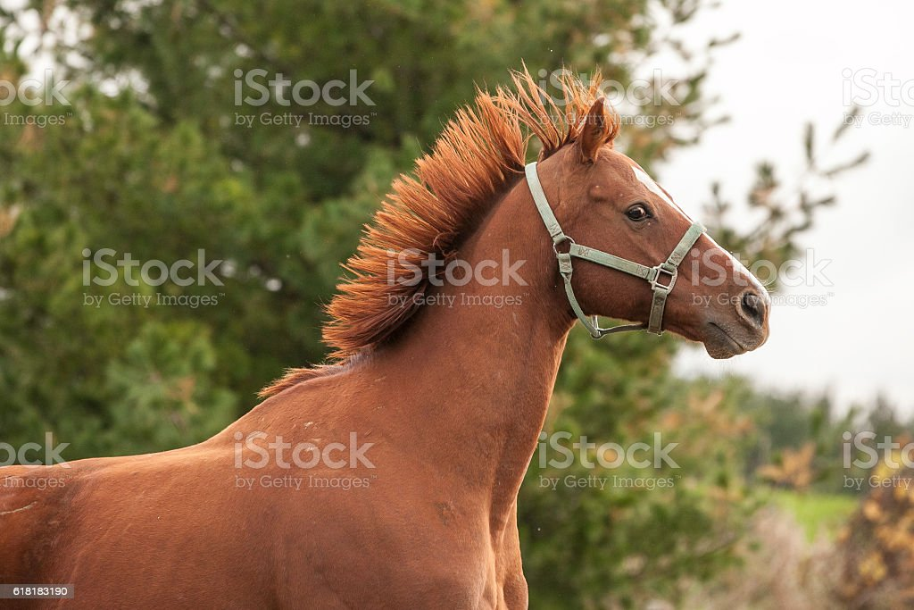 Mane straight up in the air on a chestnut horse. stock photo