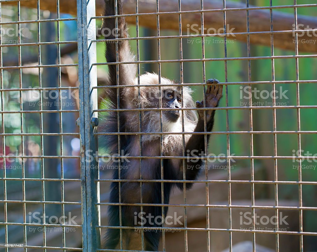 Maned monkey in a cage stock photo