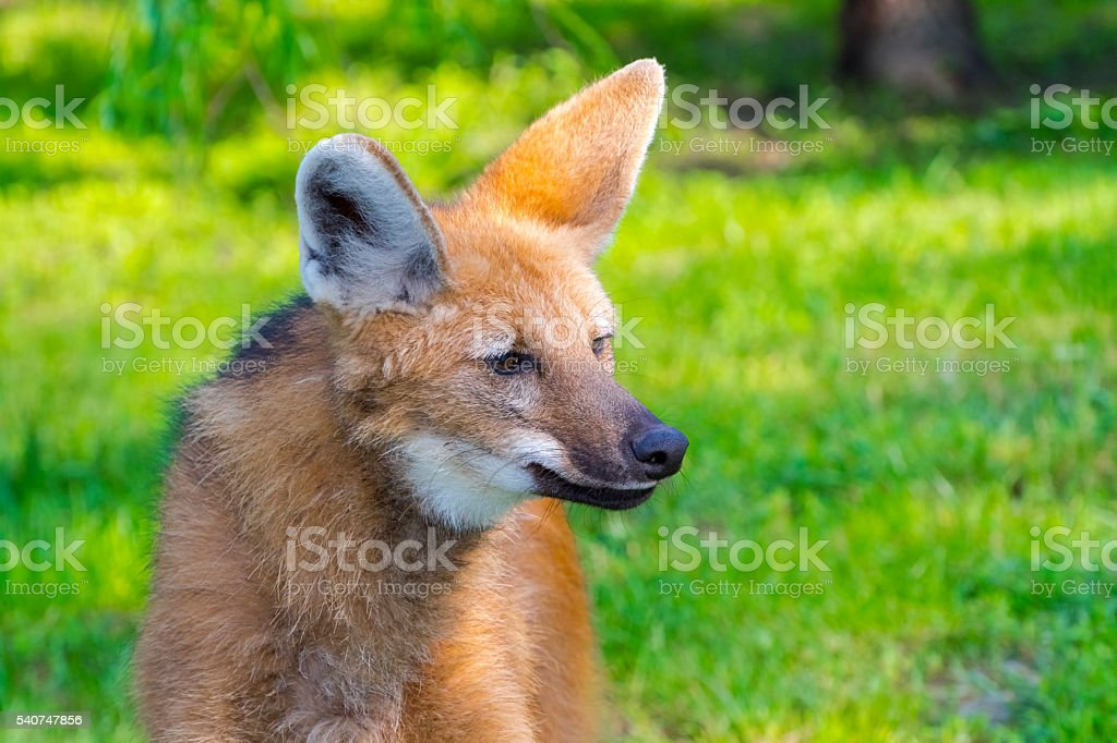 Maned wolf in green stock photo