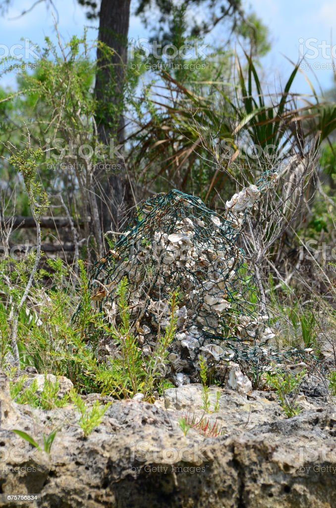 Mangled wire marine trap with oysters in coastal vegetation stock photo
