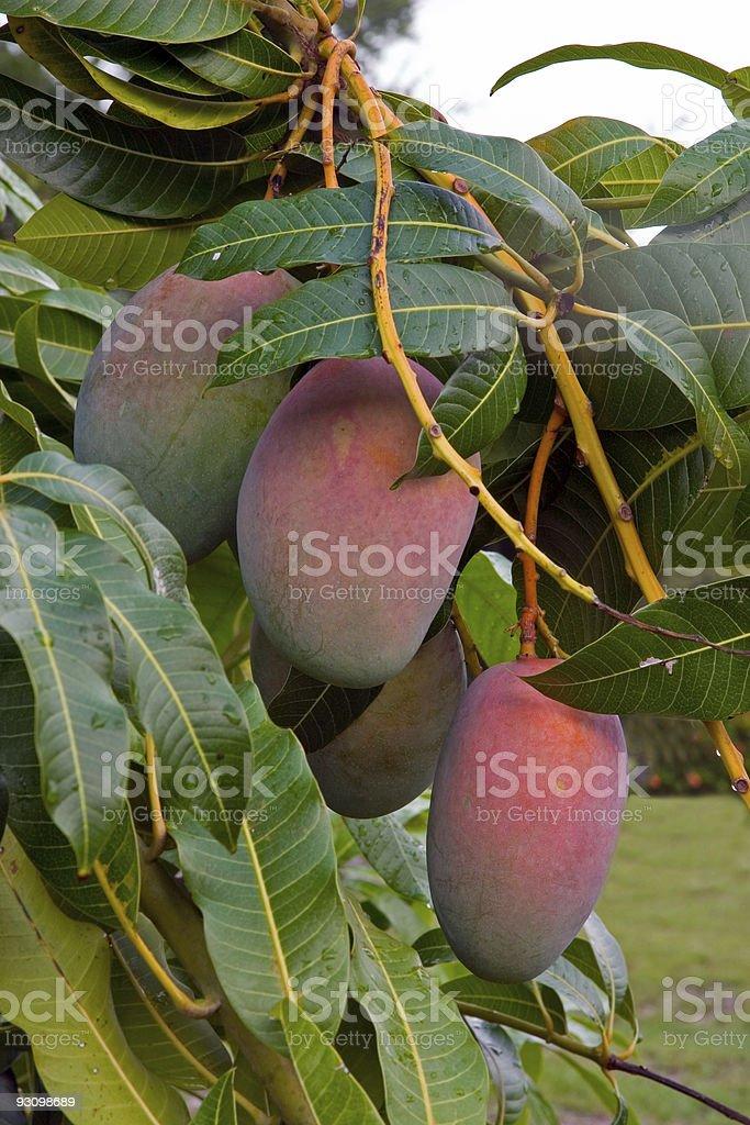 Mango Close up stock photo