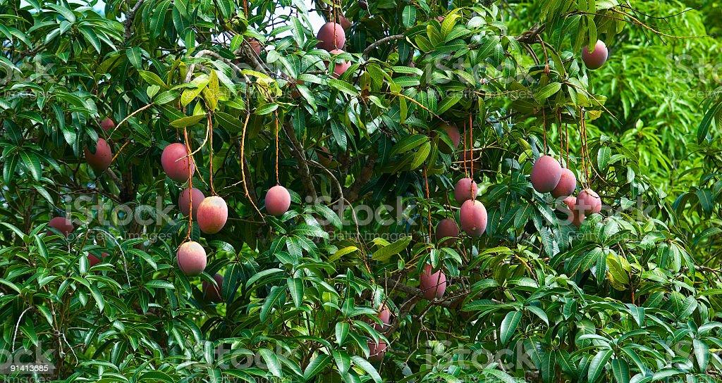 Mango fruit on tree stock photo
