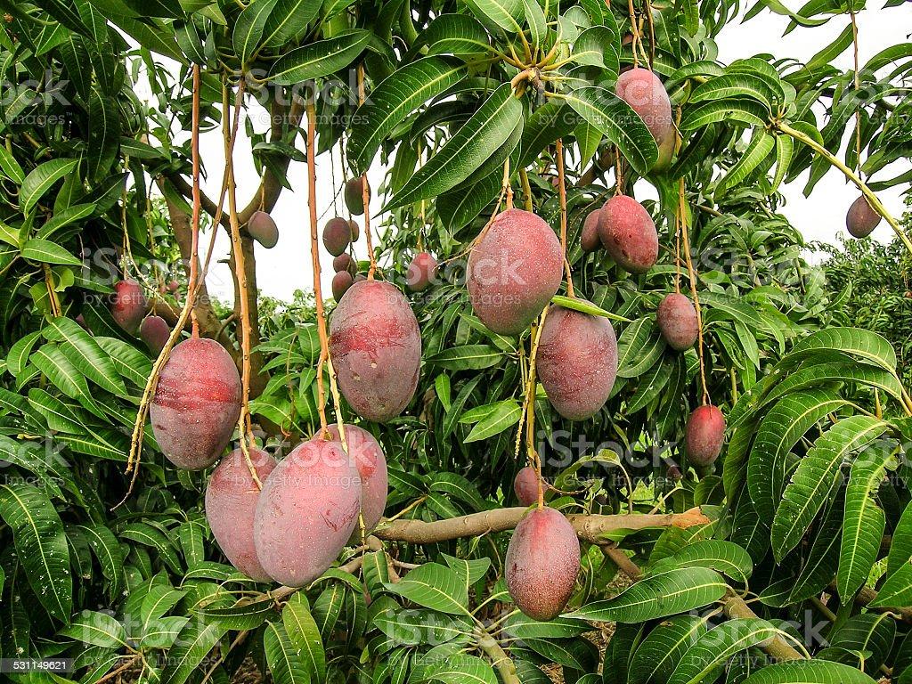 Mango Fruits are Ripening stock photo