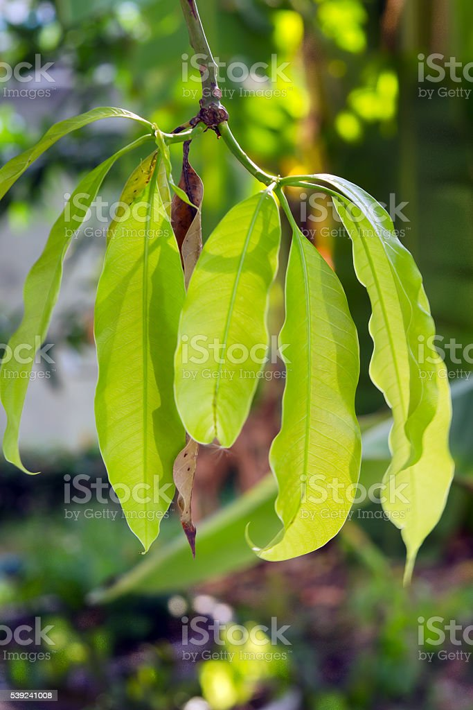 Mango leaf on the tree stock photo