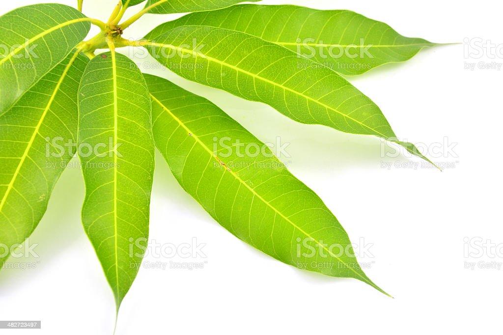 mango leaf stock photo