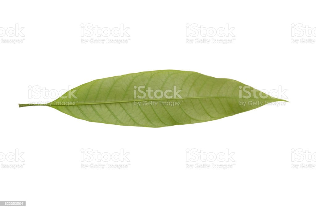 Mango leaves  on a white background stock photo