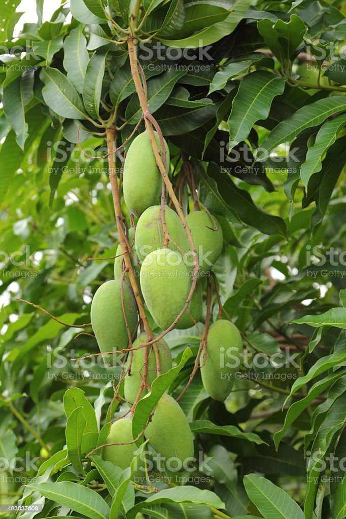 Mango on the tree stock photo