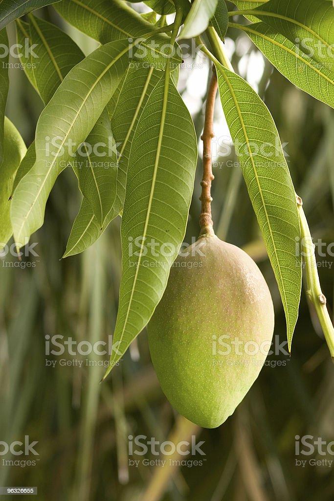 Mango on Vine stock photo