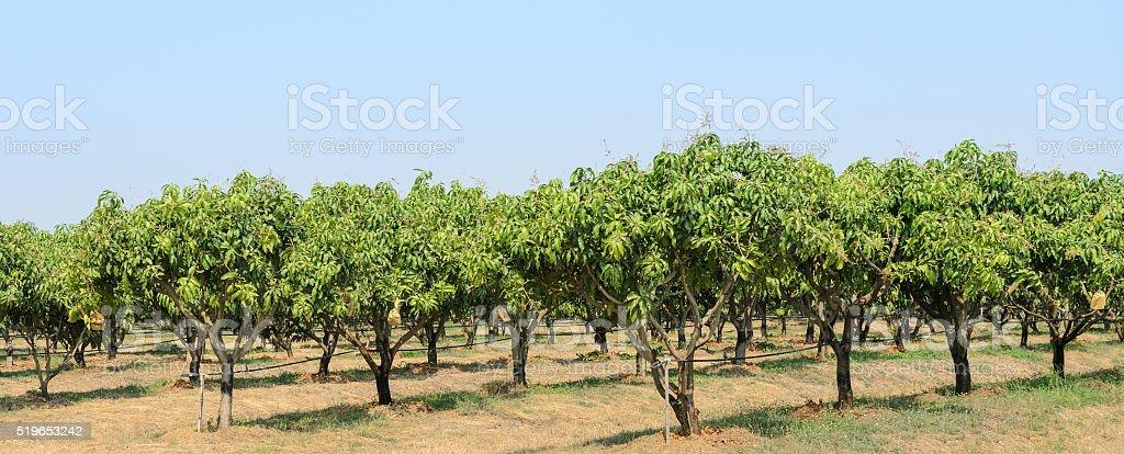 Mango orchard in Thailand stock photo